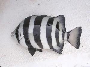검은 세로줄 7개가 또렷하게 보이는 돌돔. 그러나 성별과 환경에 따라 줄무늬가 없을 수도 있다. - E-190(W) 제공